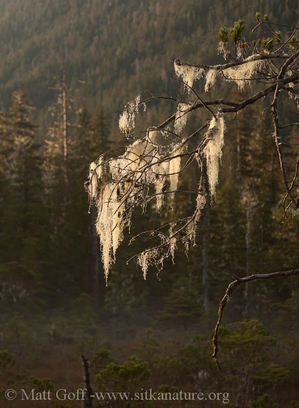 Sunlit Lichens