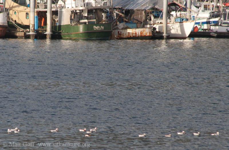 Long-tailed Ducks (Clangula hyemalis)