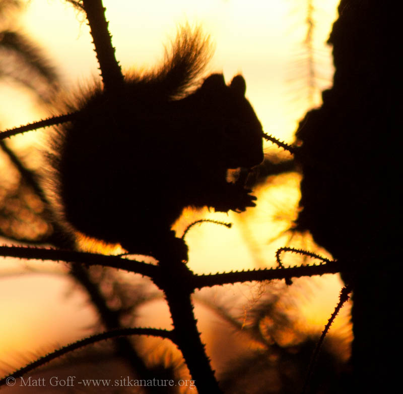 Red Squirrel at Sunset