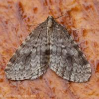 Winter Moth (Operophtera bruceata)