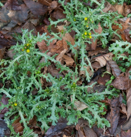 Common Groundsel (Senecio vulgaris)
