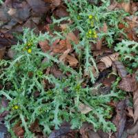 Common Groundsel (Senecio vulgaris)