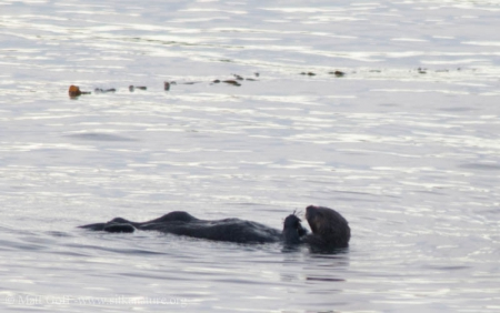 Sea Otter (Enhydra luris)