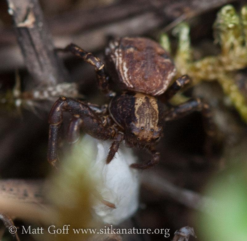 Spider (Xysticus sp)