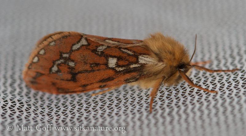Ghost Moth (Gazoryctra sp)