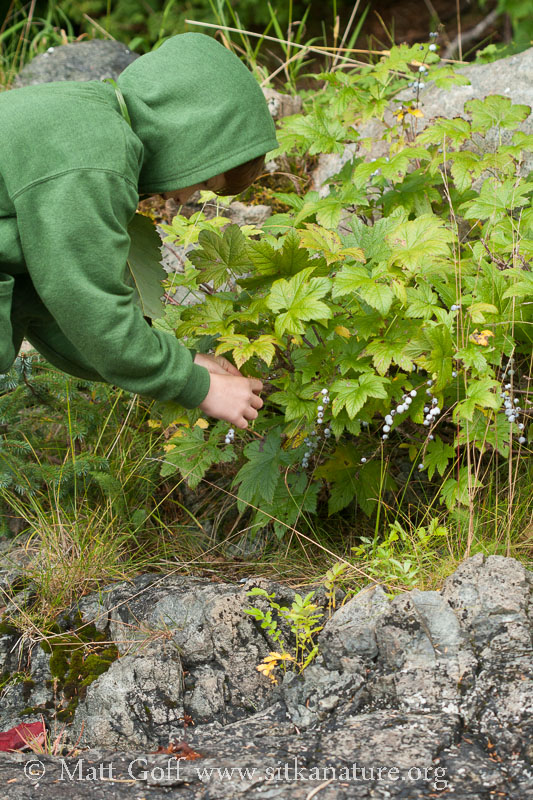 Picking Gray Currants