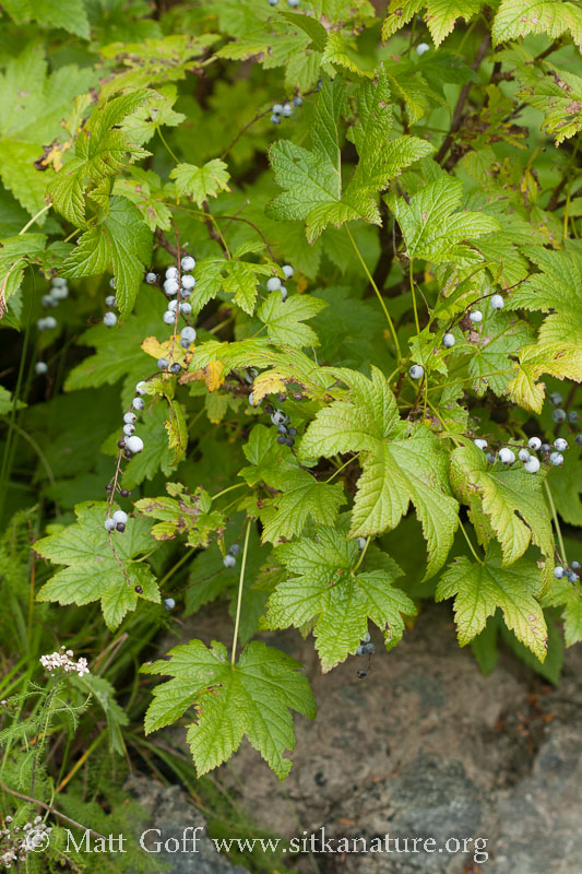 Gray Currants (Ribes bracteosum)