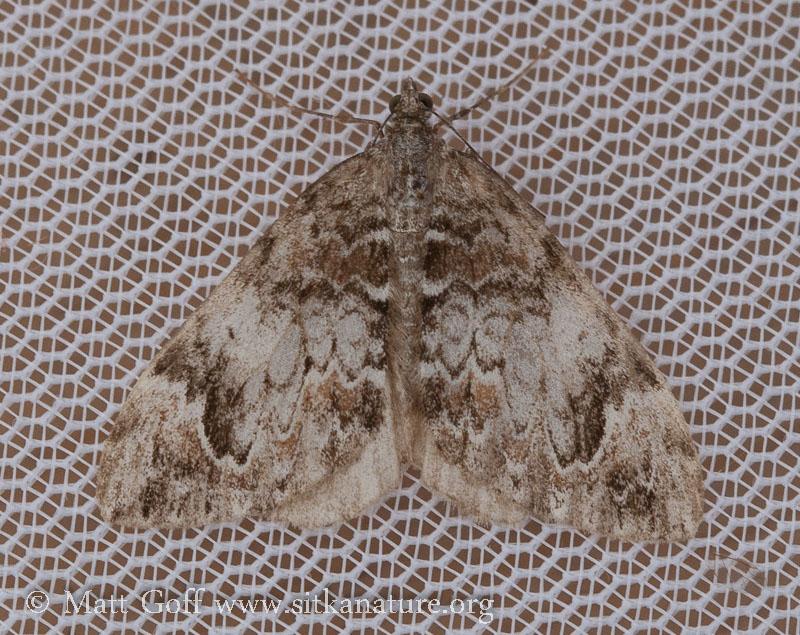 Dark Marbled Carpet (Dysstroma citrata) - Unconfirmed