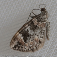 Dark Marbled Carpet (Dysstroma citrata) - Unconfirmed