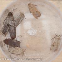 Yellow Underwing Moths (Noctua pronuba)