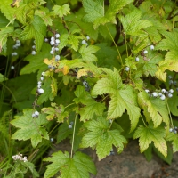 Gray Currants (Ribes bracteosum)
