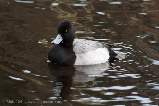 Lesser Scaup (Aythya affinis)