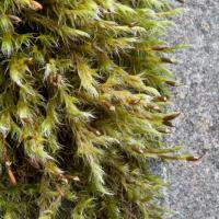 Bucklandiella affinis