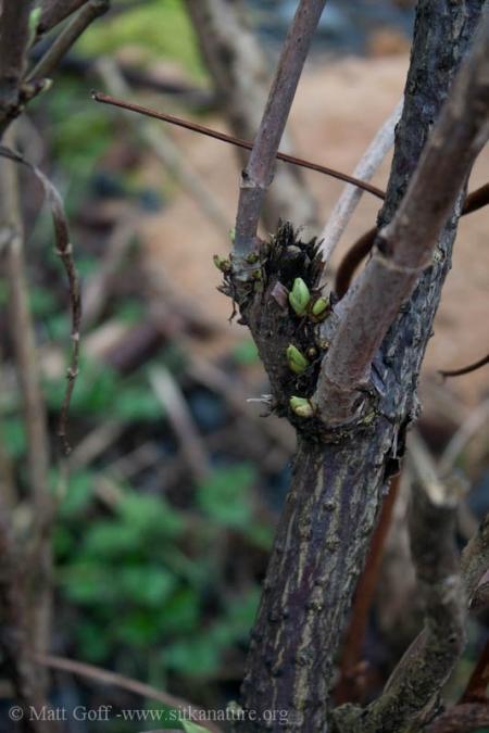 Early Bud Growth