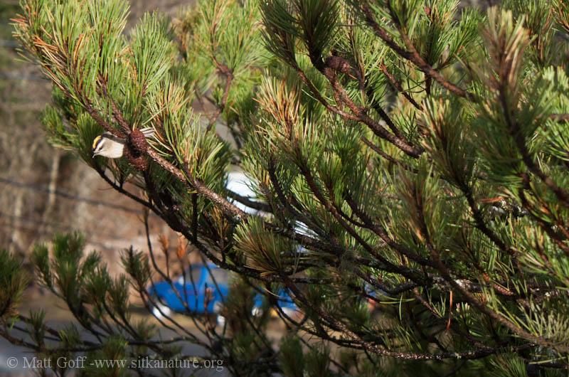 Golden-crowned Kinglet on Shore Pine