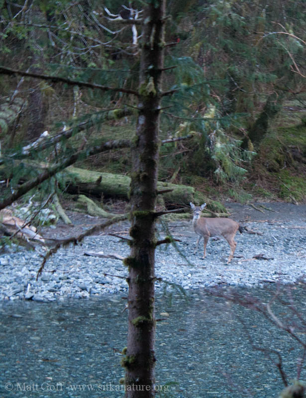 Deer along Indian River