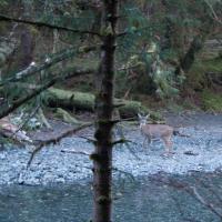 Deer along Indian River