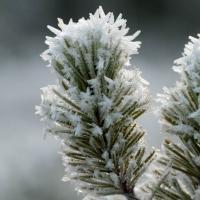 Frsoty Pine