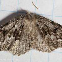 Variable Girdle (Enypia venata)