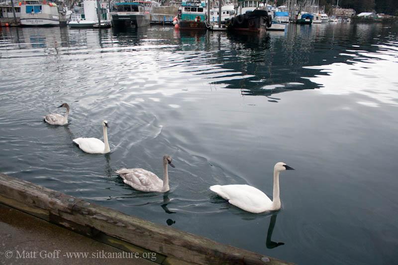 Trumpeter Swans at Crescent Harbor