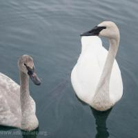Trumpeter Swans at Crescent Harbor