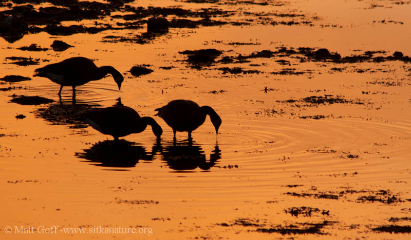 Canada Geese Feeding at Sunset