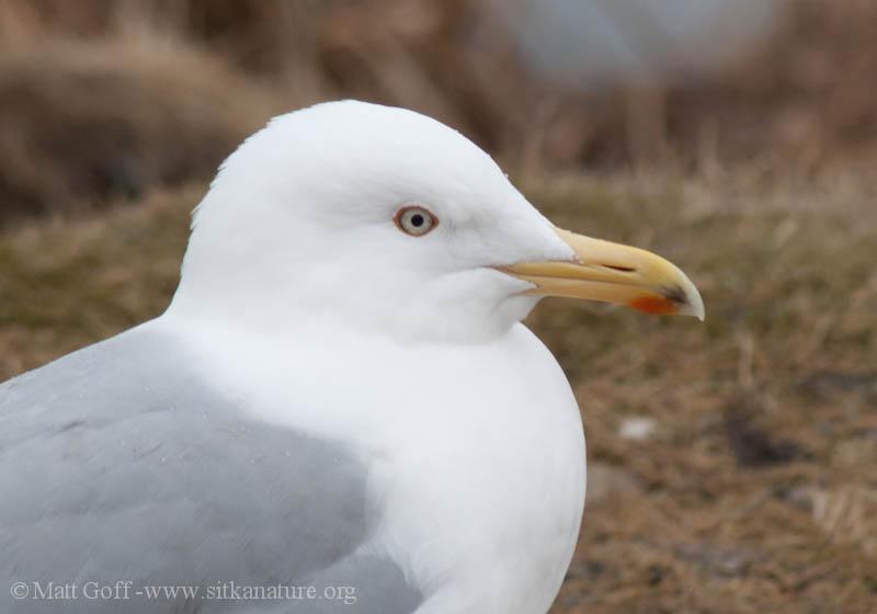Gull 5