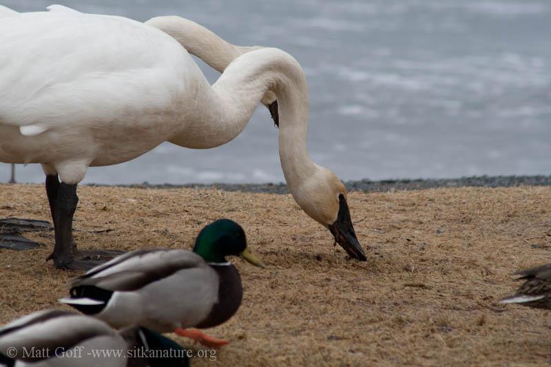 Trumpeter Swan at Swan Lake
