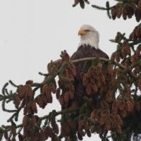 Bald Eagle in Sitka Spruce