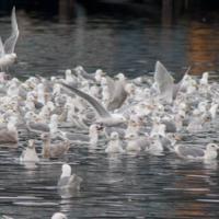 Feed Flock of Gulls