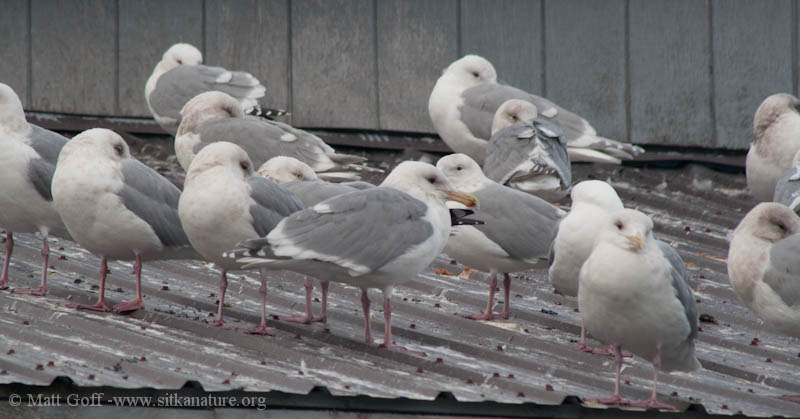 Loafing Gulls