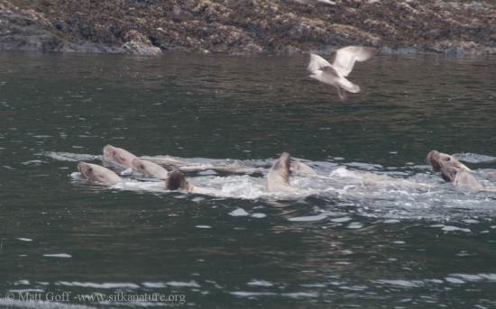 Steller Sea Lions (Eumetopias jubatus)