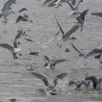 Gull Excitment