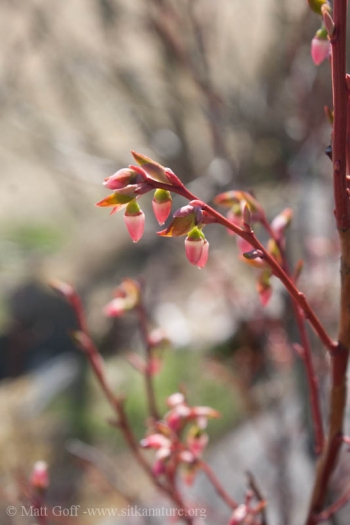 Early Blueberry Flowers