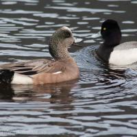 American Wigeon and Lesser Scaup