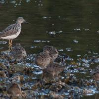 Greater Yellowlegs with Short-billed Dowitchers