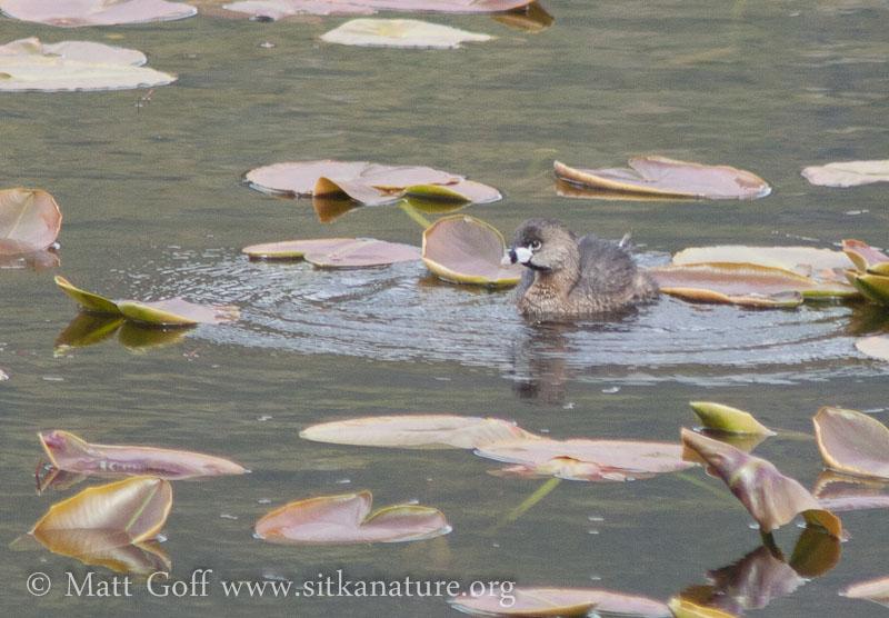 Pied-billed Grebe on Swan Lake