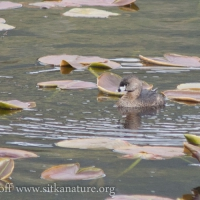 Pied-billed Grebe on Swan Lake