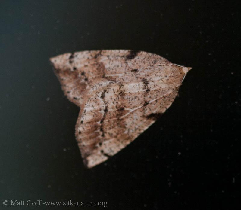 Northern Thallophaga (Thallophaga hyperborea)