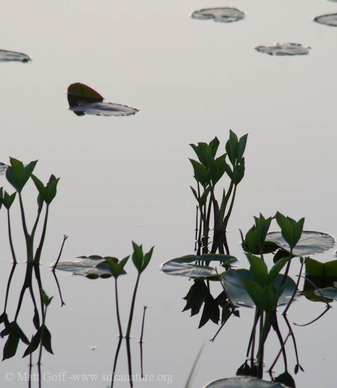 Bog Buckbean at Dusk on Swan Lake