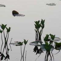 Bog Buckbean at Dusk on Swan Lake