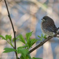 Fledgling Dark-eyed Junco