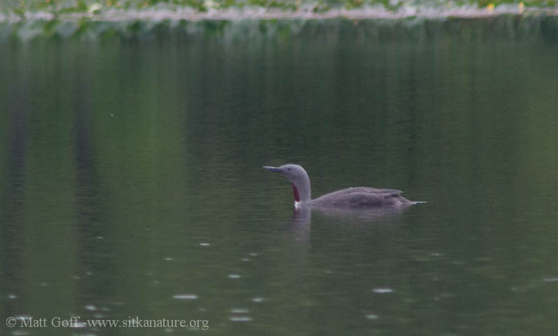Red-throated Loon on Swan Lake