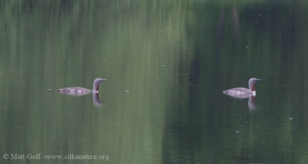 Red-throated Loons on Swan Lake