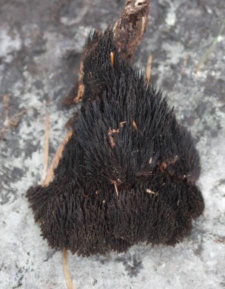 Hair-like Fungus