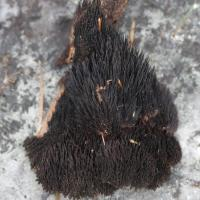 Hair-like Fungus