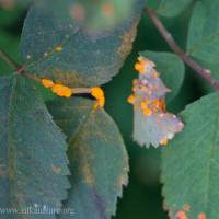 Rose Rust (Phragmidium sp)