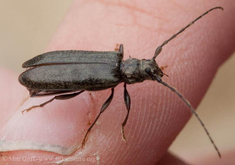 Spruce Limb Borer (Opsimus quadrilineatus)