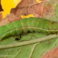 American Swordgrass Moth (Xylena nupera) Caterpillar