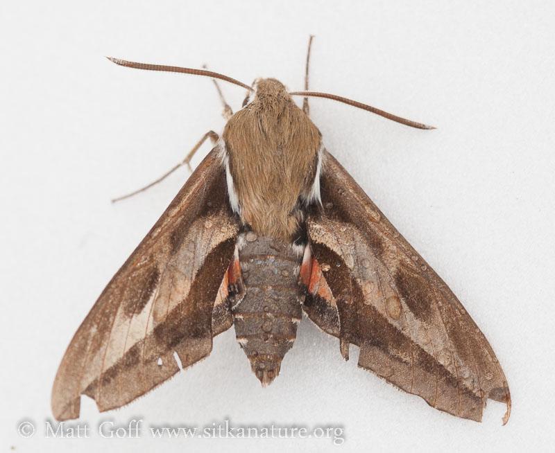 Bedstraw Hawk-Moth (Hyles gallii)